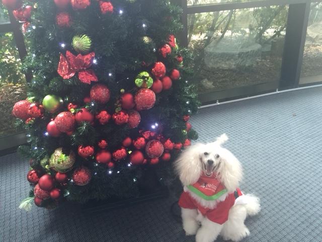 Jackson the Dancing Poodles Children's Hospital Visit